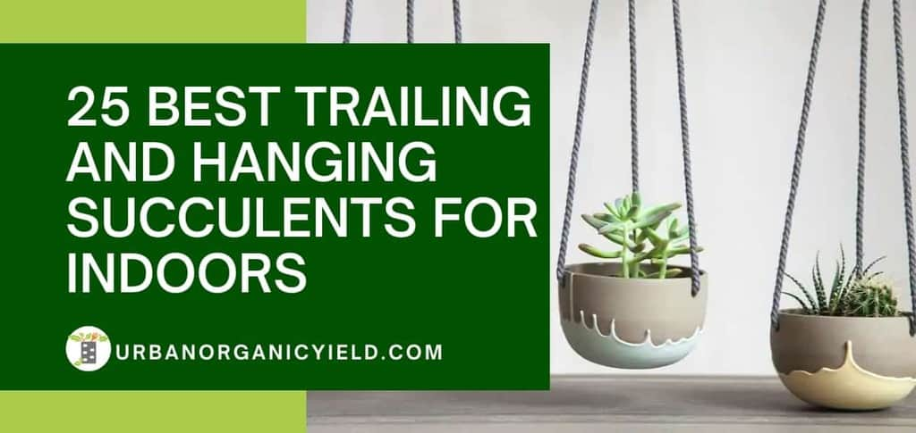 Best Trailing And Hanging Succulents for Indoors