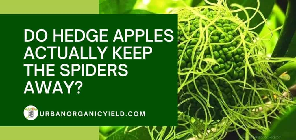 Do hedge apples actually keep the spiders away