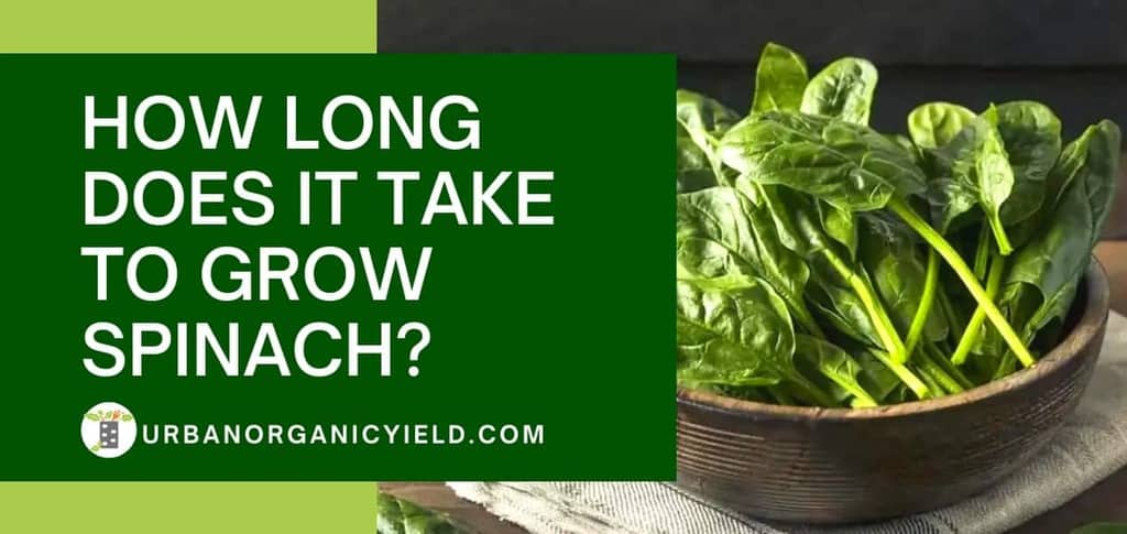 How Long Does It Take To Grow Spinach