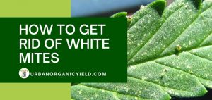 how to get rid of white mites
