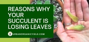 reasons to explain why your succulent is losing leaves