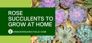 top rose succulents to grow at home