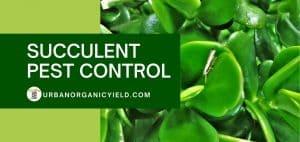 succulent pest control