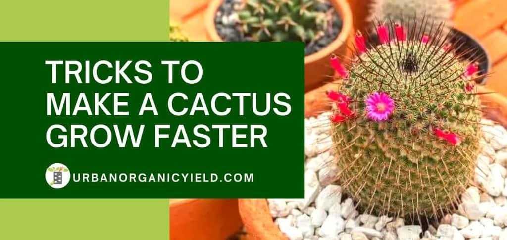 tricks to make a cactus grow faster