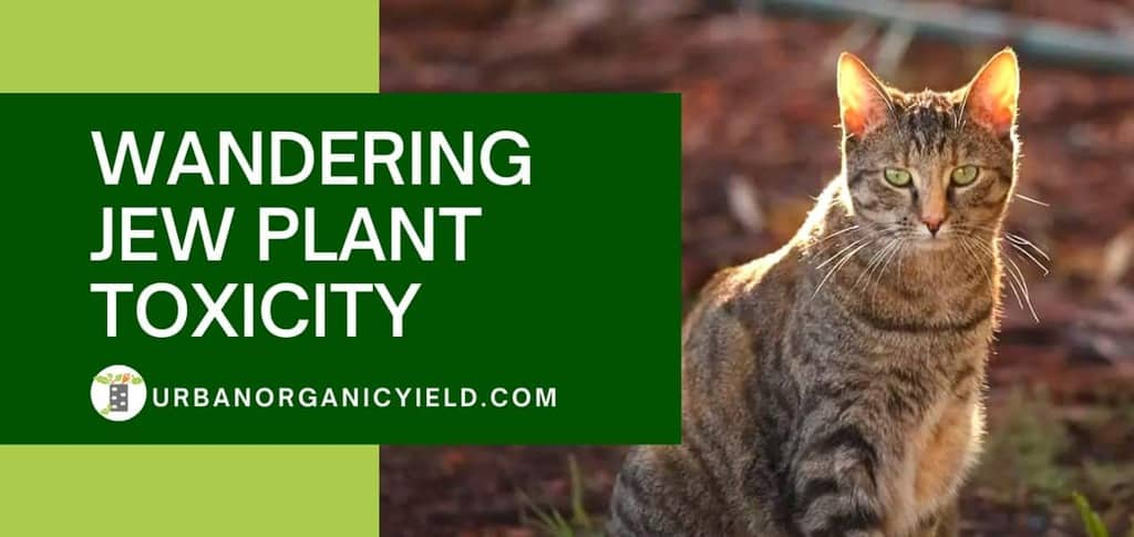 Wandering Jew Plant Toxicity: Is Wandering Jew Plants Poisonous to Cats? | UrbanOrganicYield.com