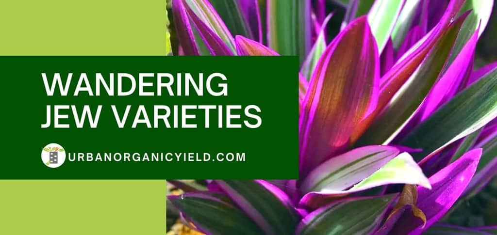 Wandering Jew Varieties: Tradescantia Types, Care, and Growing Tips Indoors and Outdoors | UrbanOrganicYield.com