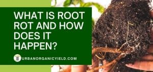 how does root rot happen