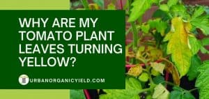 why tomato plant leaves turning yellow