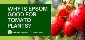 why is epsom good for tomato plants