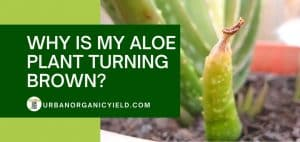 why is my aloe vera plant turning brown