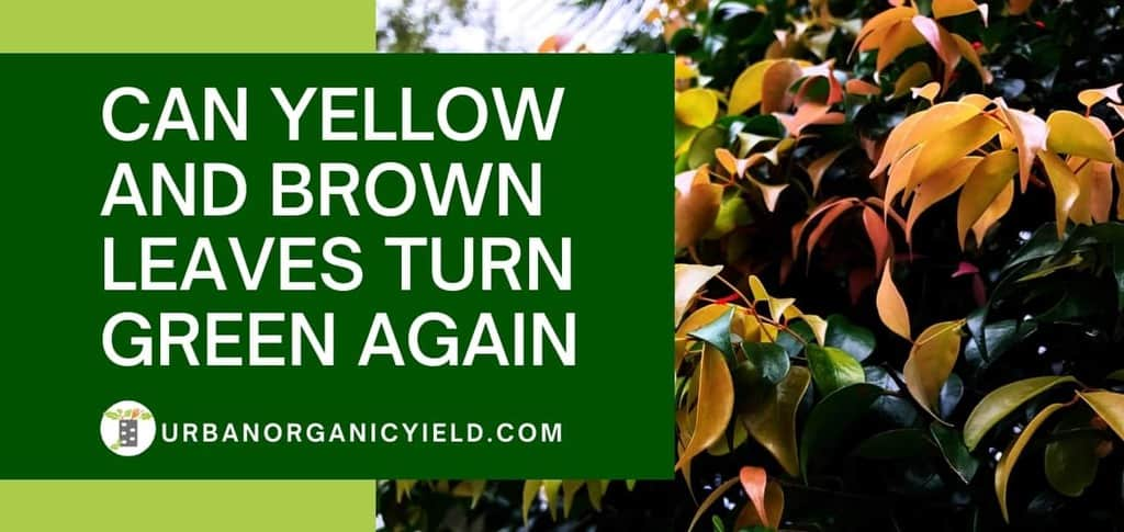 can yellow leaves turn green again