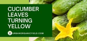 Yellow Cucumber Plant Leaves