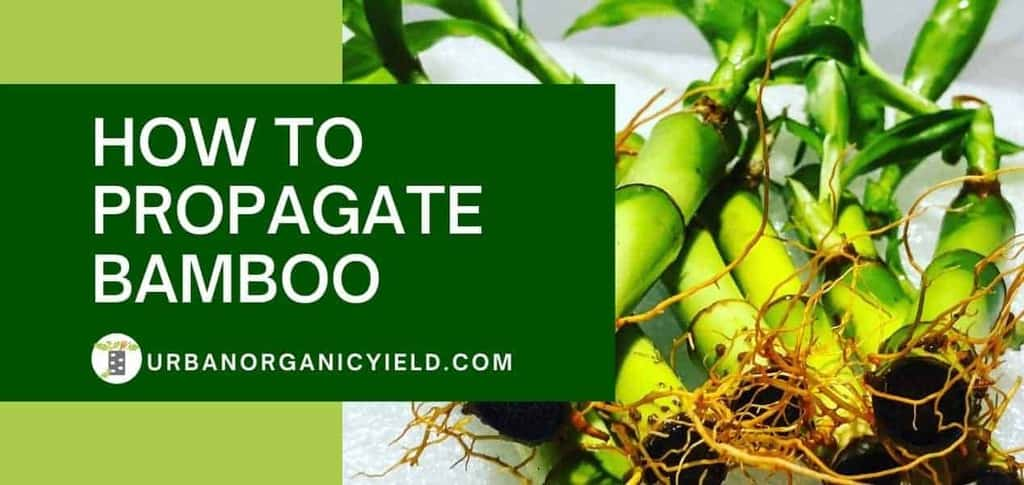 3 Ways on How To Propagate Bamboo