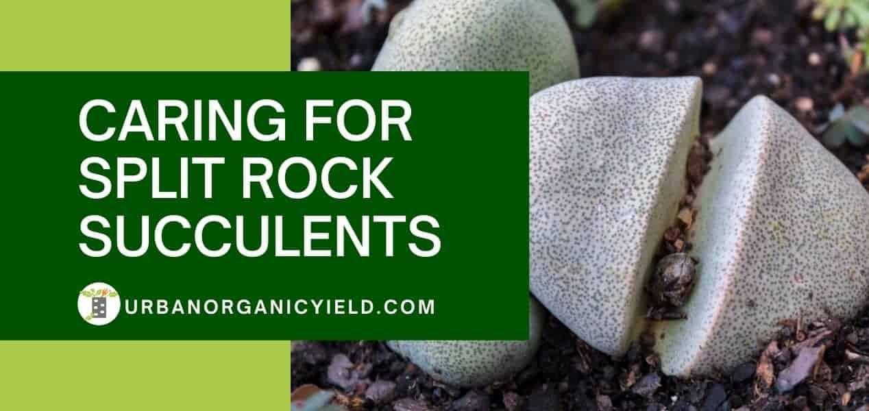 Care For Split Rock Succulents