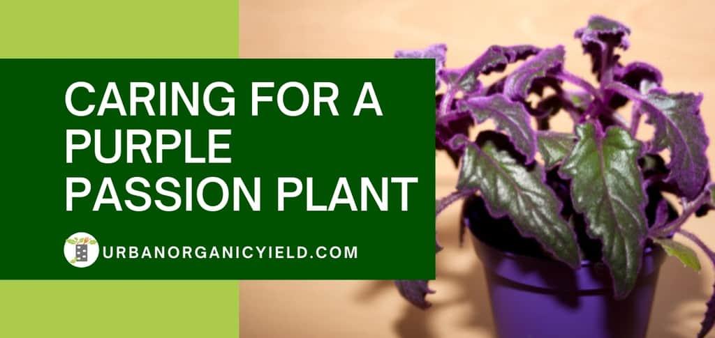 how to grow purple passion plant Gynura Aurantiaca