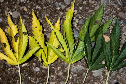 Diseased Cannabis Leaves During Flowering