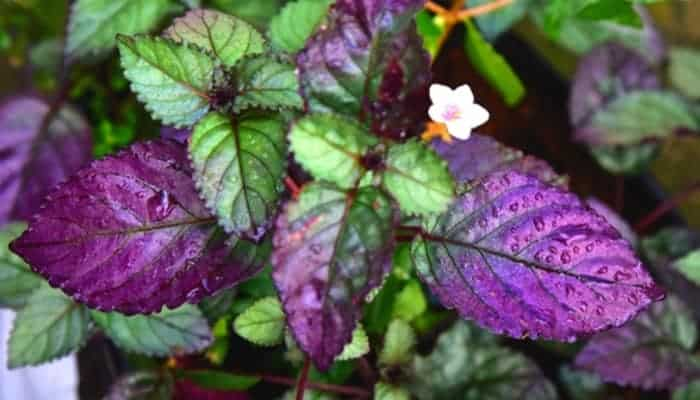 purple waffle plant showing its white flower