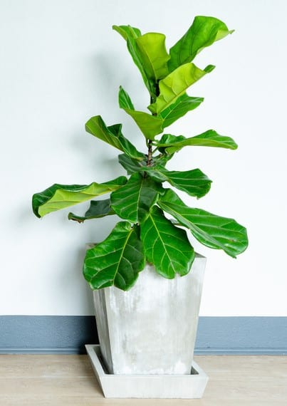 Fiddle Leaf Fig Tree in the Cement Pot