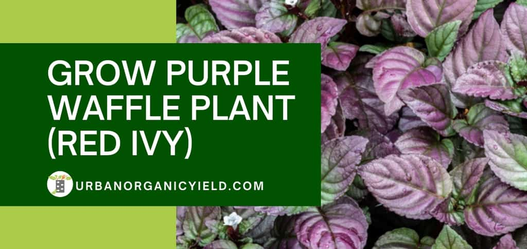how to grow purple waffle plant red flame ivy plant