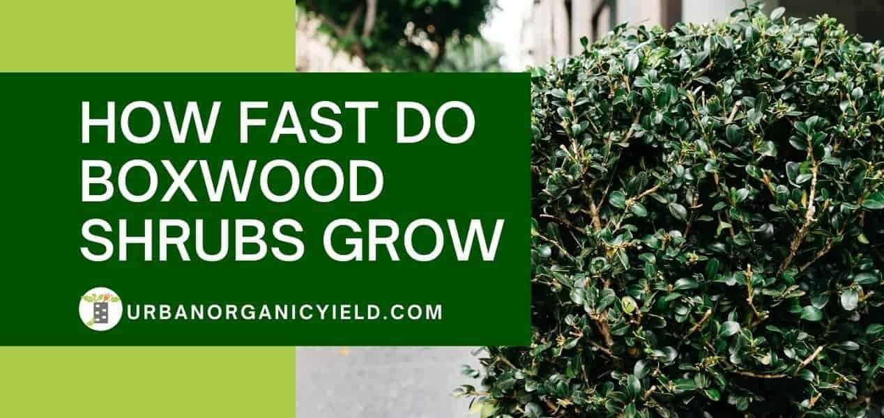 How Fast Do Boxwood Shrubs Grow