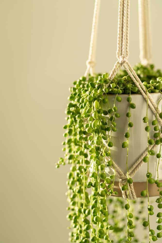 Senecio Rowleyanus String of Pearls in Hanging Basket