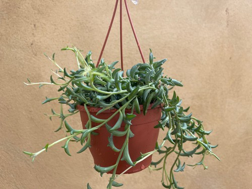String Of Dolphins in hanging basket