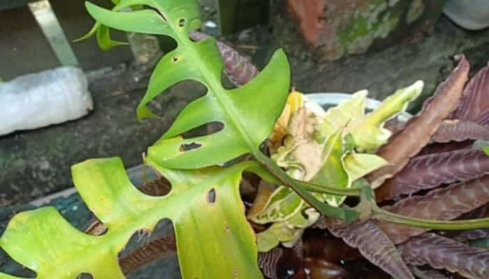 Rhaphidophora Tetrasperma has yellow leaves