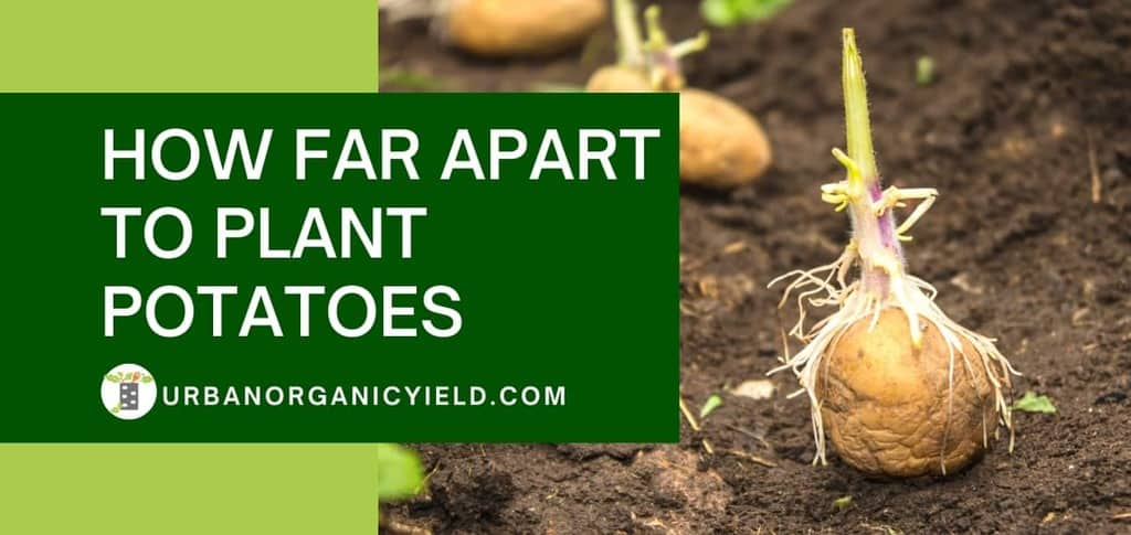 how far apart to plant potatoes in your garden