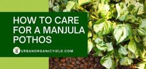 how to care for a manjula pothos