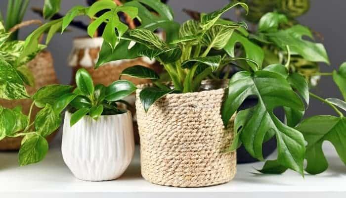 Rhaphidophora Tetrasperma plant gathering with other plants