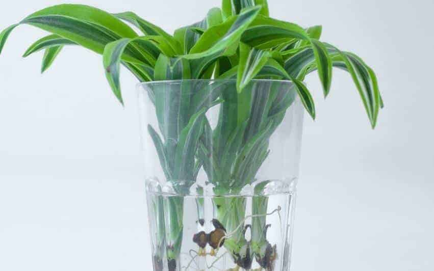 proppagated Bamboo Cuttings In Water