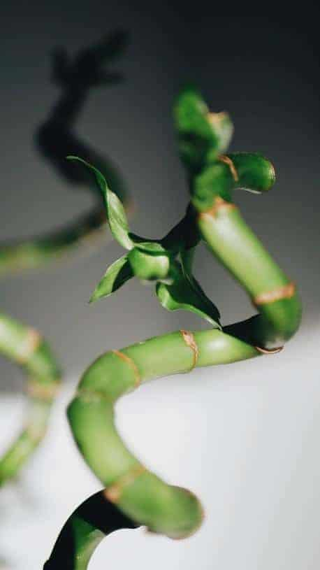 propagated bamboo