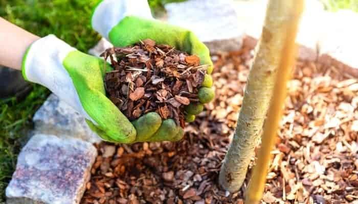 woman hands holding cedar mulch