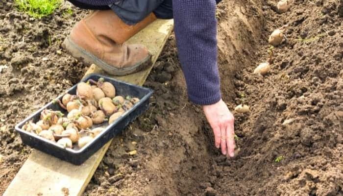plant potatoes using seeds