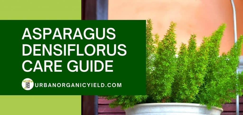 foxtail fern care guide