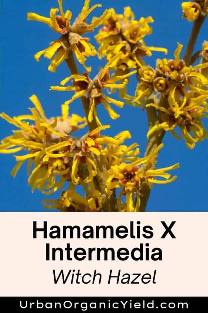 Hamamelis X Intermedia shrub