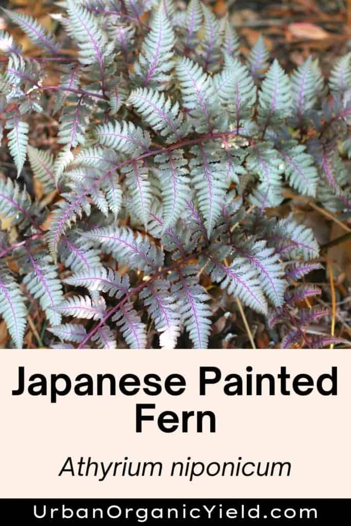 japanese painted fern types of ferns