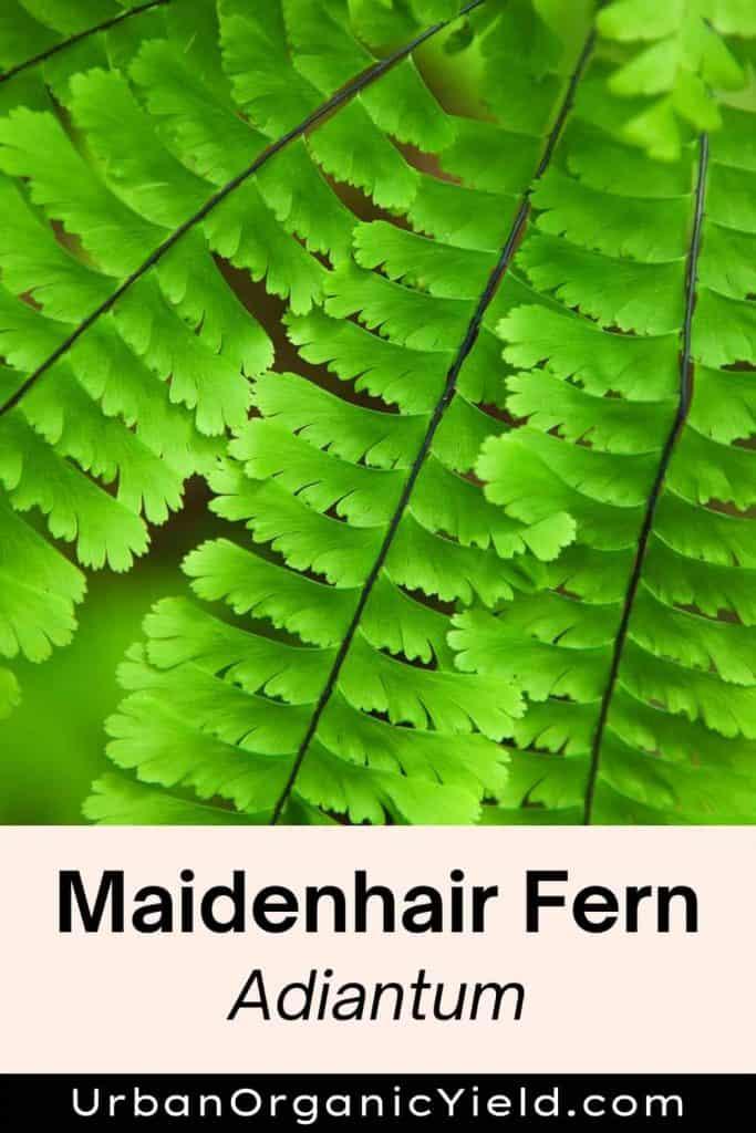 types of ferns maidenhair fern