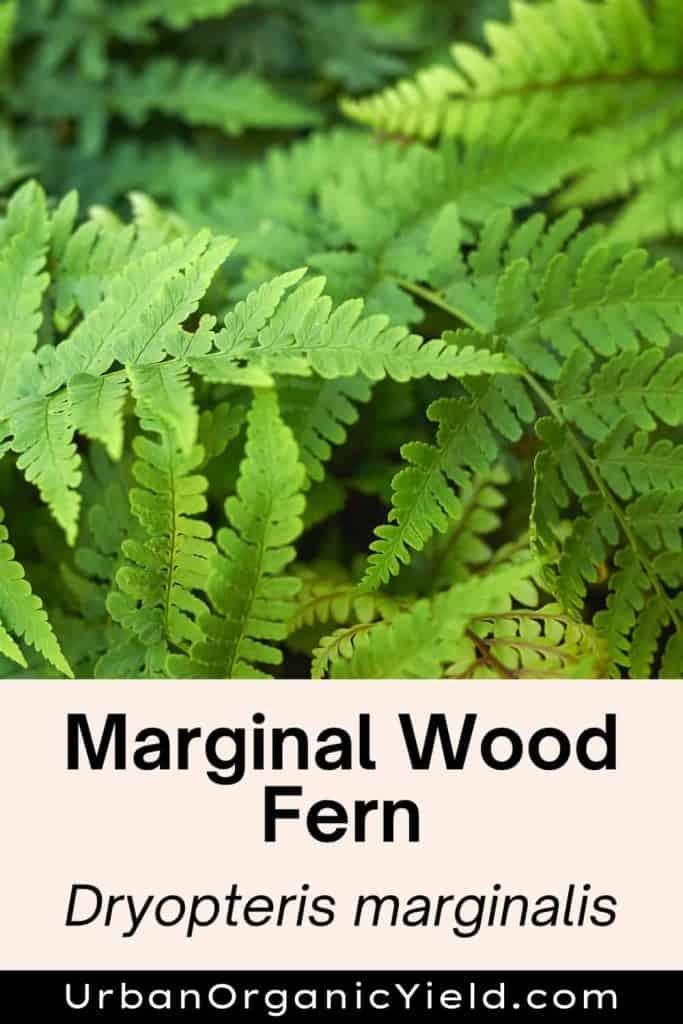types of ferns marginal wood fern