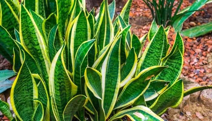 snake plants resting on the ground