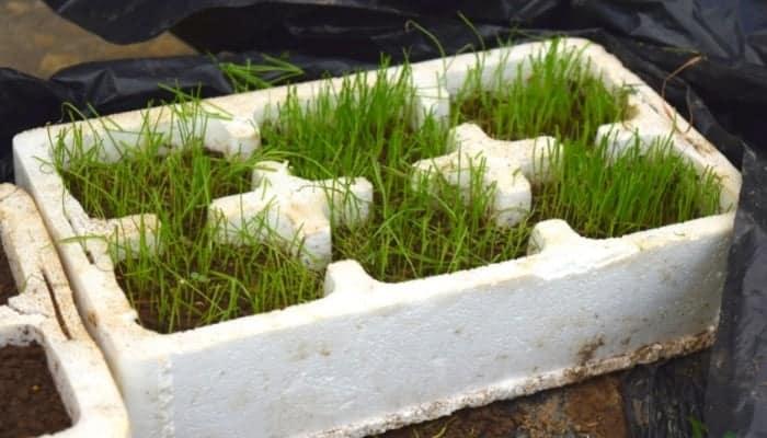 grass seed germination white box