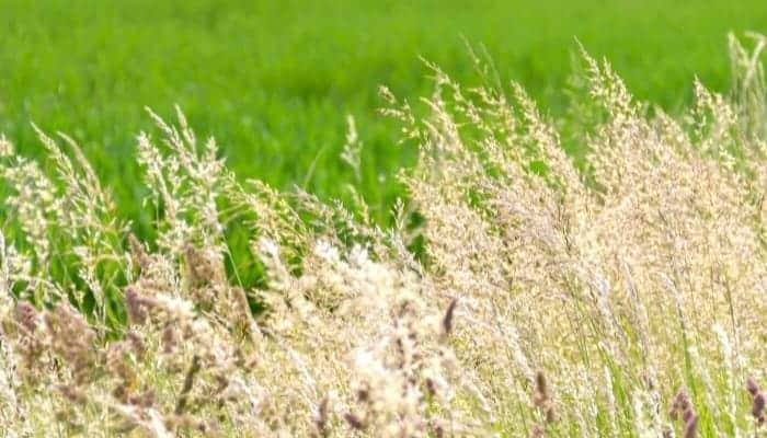 will watering dead grass bring it back