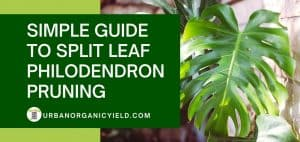 how to split leaf philodendron pruning