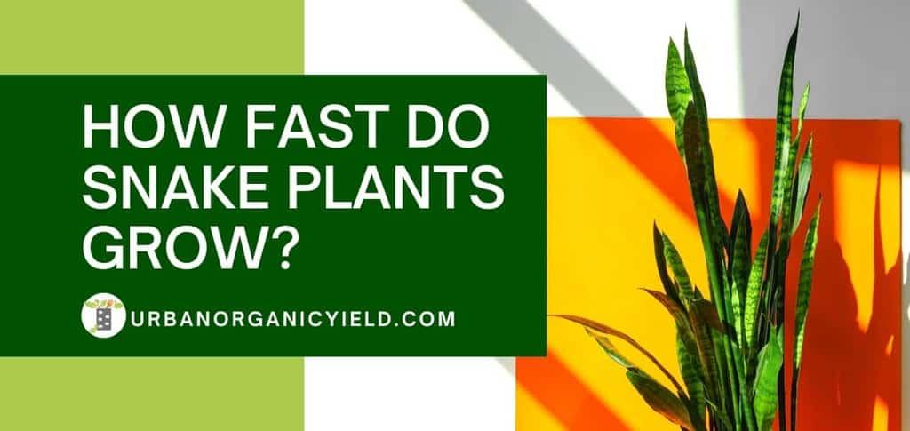 how fast do snake plants grow