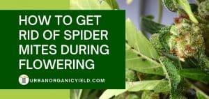 how to get rid of spider mites during flowering with natural methods