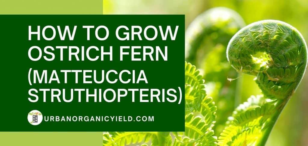 how to grow ostrich fern