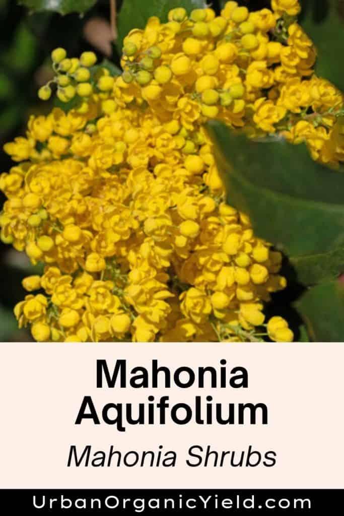 Mahonia Aquifolium Mahonia shrubs
