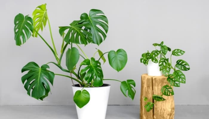 monstera plants sitting on the table