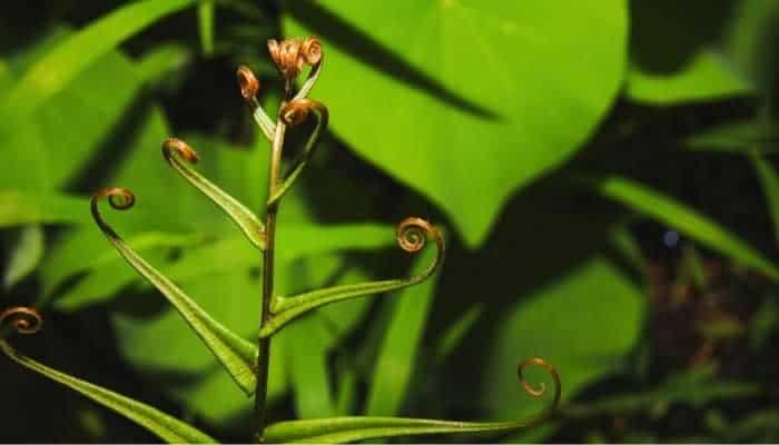 propagation and pruning sword fern