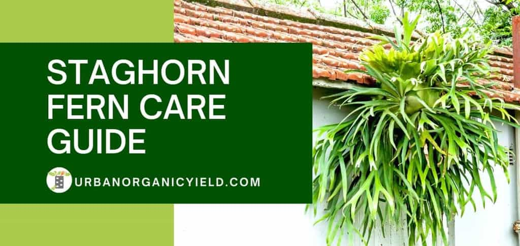 staghorn fern guide care